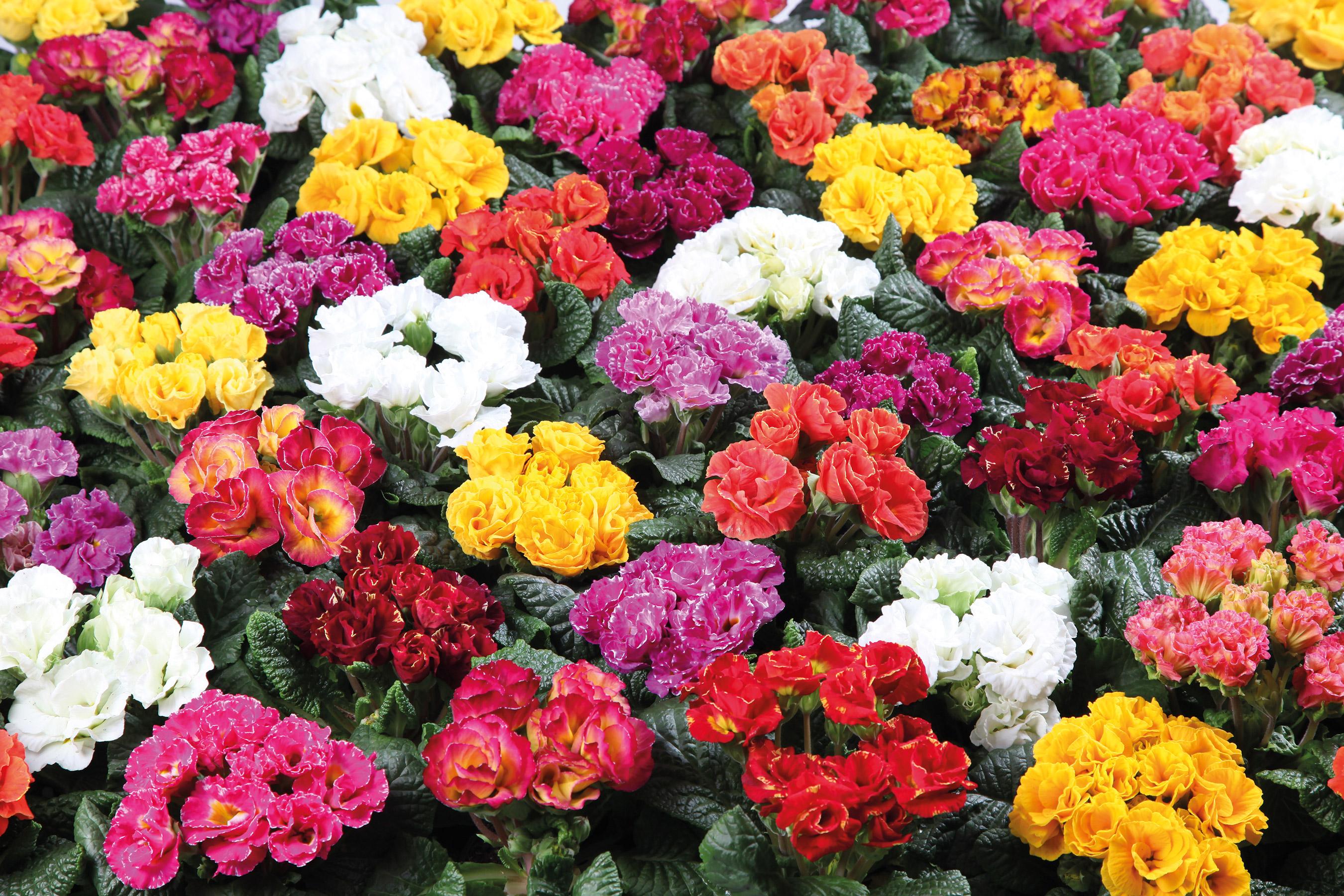 DIVA / MITTELFRÜH – gefüllt blühend, kräftige Farben